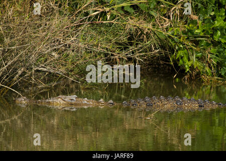 A Salt-water crocodile at crocodile breeding centre in the Sunderbans. It was established in Koromjol area of Mongla - Stock Photo