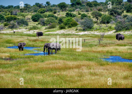 herd of African bush elephants, Boteti River, Makgadikgadi-Pans-National Park, Botswana, Africa - Stock Photo