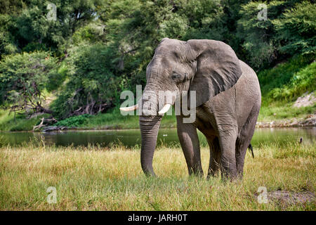 African bush elephant at Boteti River, Makgadikgadi-Pans-National Park, Botswana, Africa - Stock Photo