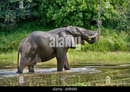African bush elephant drinking at Boteti River, Makgadikgadi-Pans-National Park, Botswana, Africa - Stock Photo