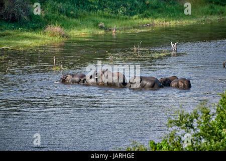 herd of African bush elephants bathing in Boteti River, Makgadikgadi-Pans-National Park, Botswana, Africa - Stock Photo