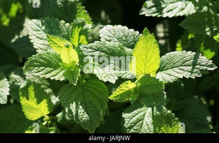 Lemon Balm Plant Leaves - Stock Photo
