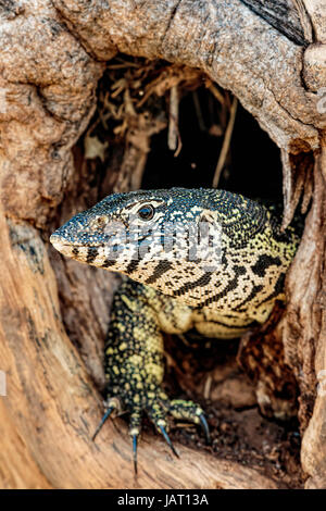 Nile Monitor (Varanus Nilotictus) looking out from an old tree trunk burrow showing his head and claws - Stock Photo