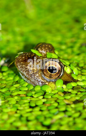 Common Frog (Rana temporaria) in garden pond, covered with lesser duck weed (lemna minor) - Stock Photo