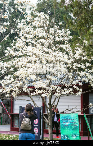 BEIJING, CHINA - MARCH 19, 2017: tourist take photos of blossoming tree in Imperial Ancestral Hall public park in - Stock Photo