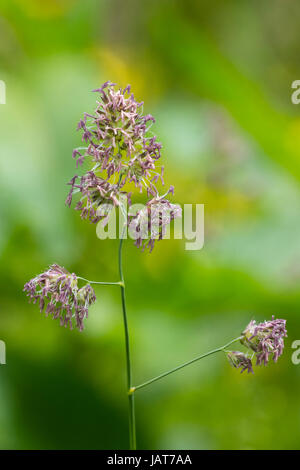 Mature flowering spike of Yorkshire fog, Holcus lanatus, in a June UK meadow - Stock Photo