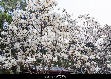travel to China - white flowers on magnolia trees in Imperial Ancestral Hall public park in Beijing Imperial city - Stock Photo