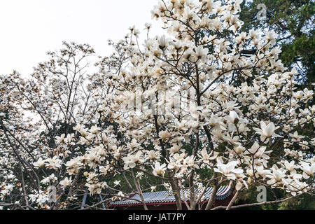travel to China - white blossom on magnolia trees in Imperial Ancestral Hall public park in Beijing Imperial city - Stock Photo