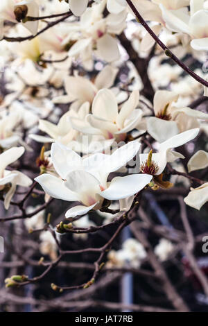 travel to China - blossoming magnolia tree in Imperial Ancestral Hall public park in Beijing Imperial city in spring - Stock Photo