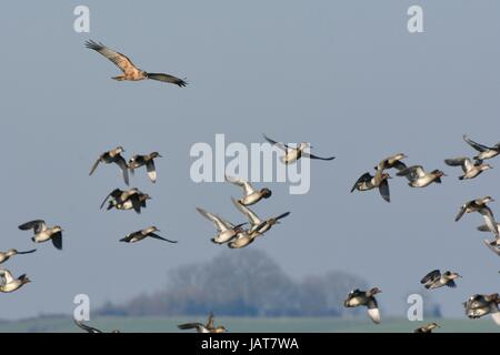 Common teal (Anas crecca) taking off from marshland as a hunting male Marsh harrier (Circus aeruginosus) approaches, - Stock Photo