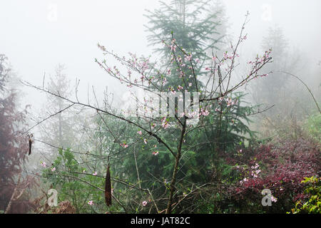 travel to China - pink blossom on tree in mist rainforest in area of Dazhai Longsheng Rice Terraces (Dragon's Backbone - Stock Photo