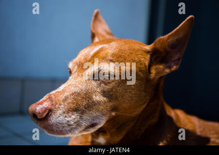Cute 'Andalusian Hound' (Canis lupus familiaris) dog lying and relaxing on a terrace - Stock Photo