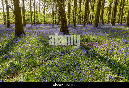 Bluebell wood in full bloom on a sunny spring day - Stock Photo