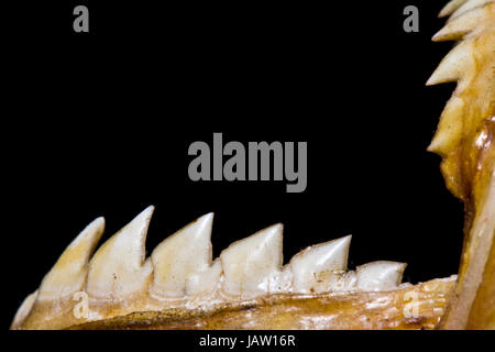 Piranha Teeth and Skull in Abstract Macro on Black Background - Stock Photo