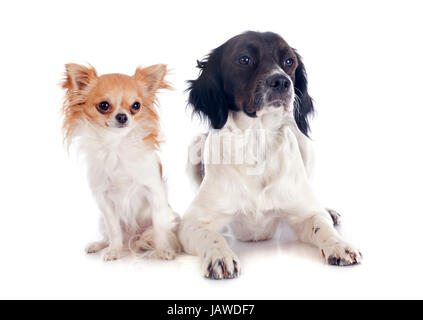 portrait of a brittany spaniel and chihuahua in front of white background - Stock Photo