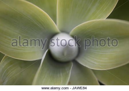 Leaves of lion's tail agave, Agave attenuata. - Stock Photo