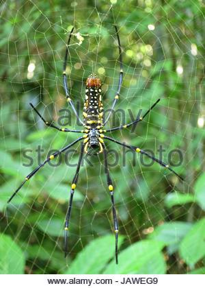 A female golden silk orb weaver, Nephila pilipes, on spider web. - Stock Photo