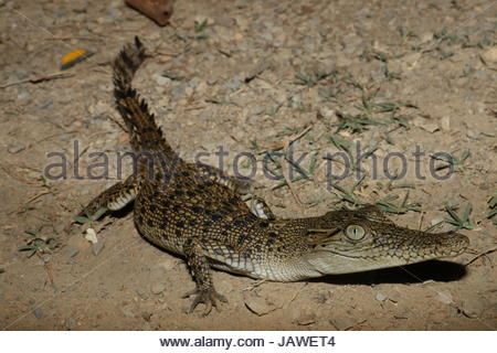 A young saltwater crocodile, Crocodylus porosus. - Stock Photo