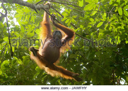 An adult female orangutan, Pongo pygmaeus wurmbii, hangs from a tree in Gunung Palung National Park. - Stock Photo