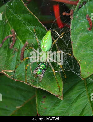 A green lynx spider with babies, Peucetia viridans, preying on a green orchid bee, Euglossa dilemma. - Stock Photo