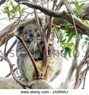 An old koala, Phascolarctos cinereus, relaxes on an gum tree in Great Otway National Park. - Stock Photo