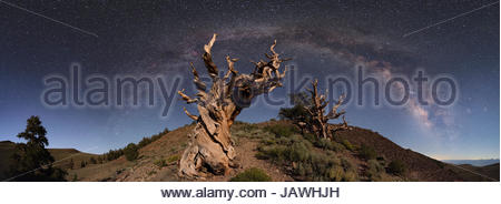 The Milky Way arc above ancient twisted Bristlecone Pines, Balfourianae, in California. - Stock Photo