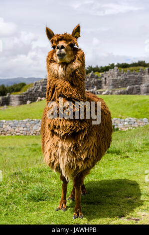 The soft wool of a Lama in the ancient ruins of an Inca citadel. - Stock Photo