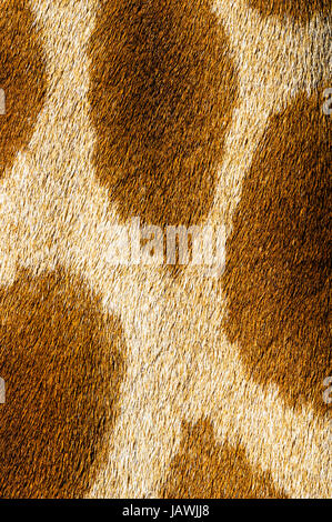 The reticulated mosaic fur pattern on the skin of a Giraffe neck. - Stock Photo
