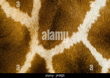 The reticulated mosaic fur pattern on the skin of a Giraffe flank. - Stock Photo