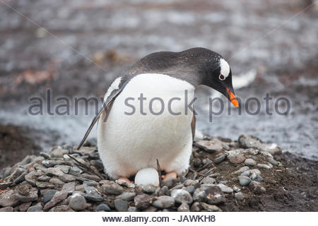Gentoo penguin nesting and protecting its egg in Antarctica. - Stock Photo