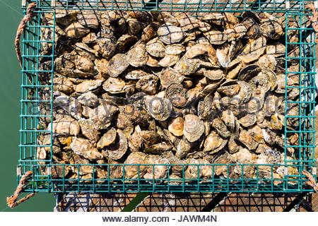 A bushel of oyesters in a green wire basket fresh from the river bed. - Stock Photo