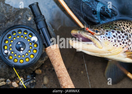 A fly fisherman's freshly caught brown trout, shallow depth of field, focus on the fish. - Stock Photo