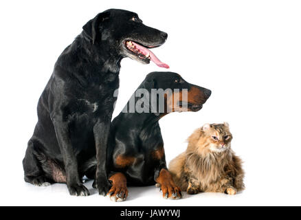 purebred  labrador retriever, american curl cat and dobermann in front of a white background - Stock Photo