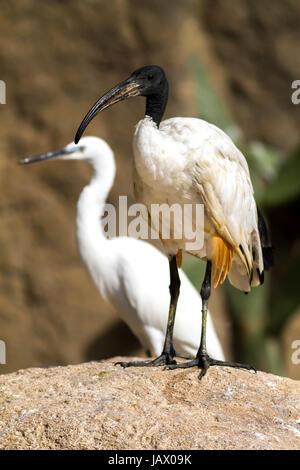 African sacred ibis (Threskiornis aethiopicus) - Stock Photo
