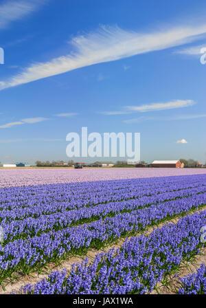 blumenfeld in lisse near keukenhof,netherlands - Stock Photo