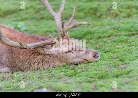 Portrait of red deer stag (Cervus elaphus) resting in the grass - Stock Photo
