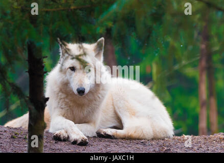 The arctic wolf (Canis lupus arctos), also called snow wolf or white wolf, - Stock Photo
