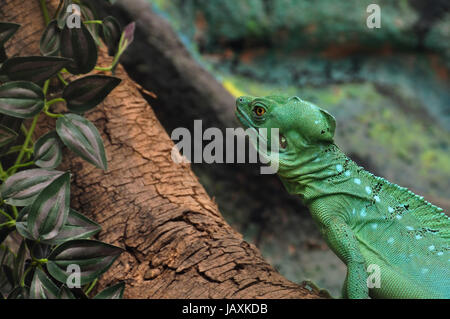 Green plumed basilisk reptile on branch. Also known as jesus lizard as it is able to run short distances across - Stock Photo