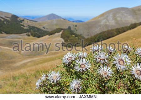 Silberdisteln sind auf vielen hochgelegenen Wiesen der Abruzzen zu finden - Stock Photo