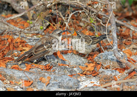 Adult Galapagos Mockingbird feeding its young on the Galapagos Island of Genovesa - Stock Photo