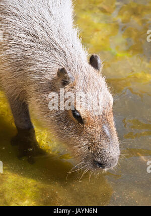 Nice close up photo of Capybara drinking in zoo - Stock Photo