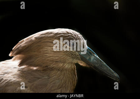 The Hamerkop Scopus umbretta, also known as Hammerkop, Hammerkopf, Hammerhead, Hammerhead Stork, Umbrette, Umber - Stock Photo