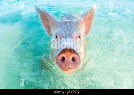 In Big Major Cay, the Exumas, you can get very close to the famous swimming pigs. Bahamas, December - Stock Photo
