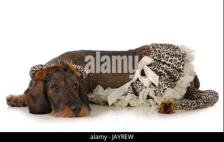 dog wearing a cat costume - dachshund laying down isolated - Stock Photo