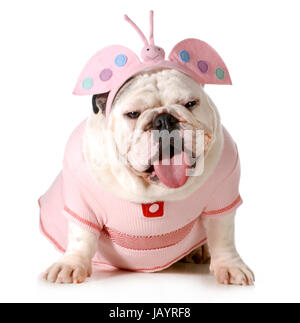 cute puppy - english bulldog female wearing cute costume isolated on white background - Stock Photo
