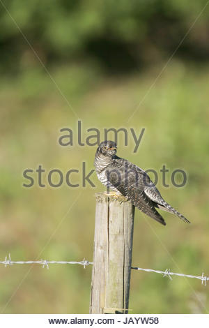 Common Cuckoo Cuculus Canorus Juvenile Calling Perched