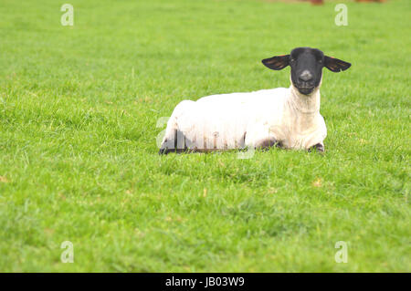 Suffolk black faced sheep relaxing in a field - Stock Photo