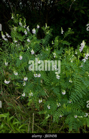 cluster pink flower licorice (Glycyrrhiza) on meadow - Stock Photo