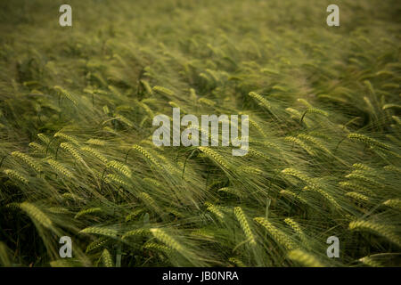 Thaxted Essex England. Barley growing in a field at Thaxted Essex England UK. June 2017 Wikipeadia below:  Barley - Stock Photo