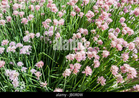 Beautiful pink flowers of chives  Schnitt in the garden - Stock Photo
